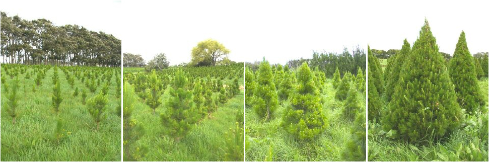 Production Mount Gabriel Christmas Tree Farms
